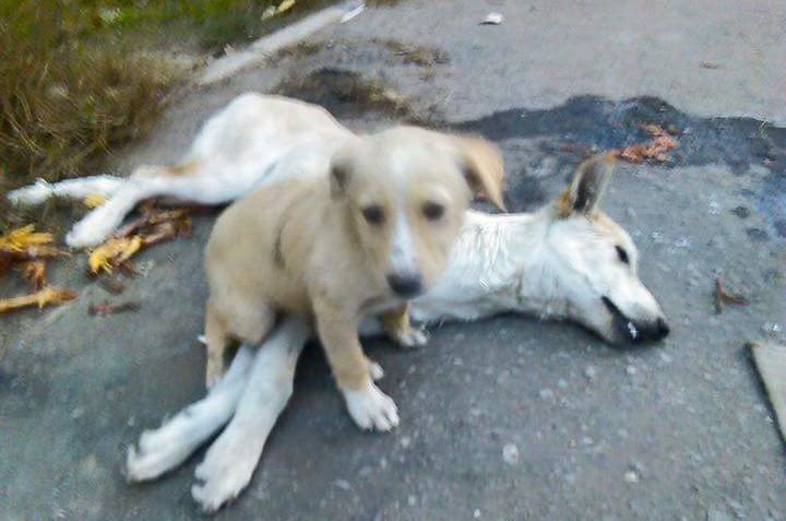 """The Despicable Act of """"Shooting them like Dogs""""! Egypt's Dog Murders Continue"""